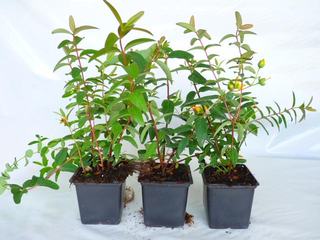 bodendeckerpflanzen online kaufen hypericum 39 hidcote. Black Bedroom Furniture Sets. Home Design Ideas