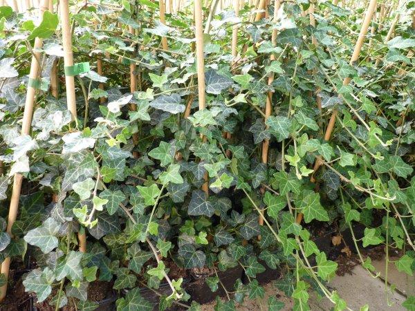 bodendeckerpflanzen online kaufen efeu 39 hedera helix 39 gest bt 80 100cm. Black Bedroom Furniture Sets. Home Design Ideas