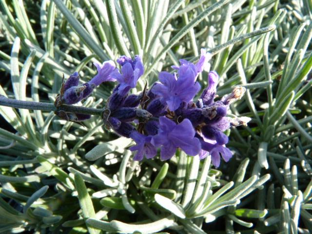 bodendeckerpflanzen online kaufen echter lavendel. Black Bedroom Furniture Sets. Home Design Ideas
