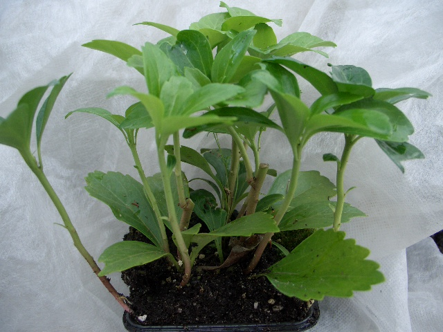 bodendeckerpflanzen online kaufen dickm nnchen. Black Bedroom Furniture Sets. Home Design Ideas